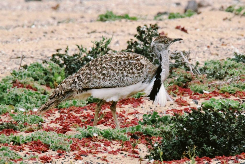 African houbara in El Jable desert in Lanzarote